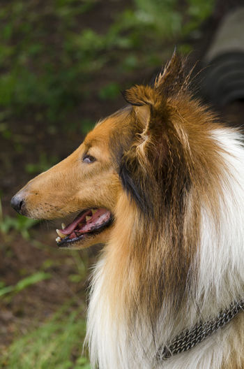 Collie posing in a park Breed Clingy Coat Collar Collie Companion Dog Descendants Dog Herding Instinct Leash Outdoor Pet Playful Dog Pose Ranch Sable Scottish Sheppard Dog Sheepdog Sleeding Smell Temperament Train Tricolor Veterinary