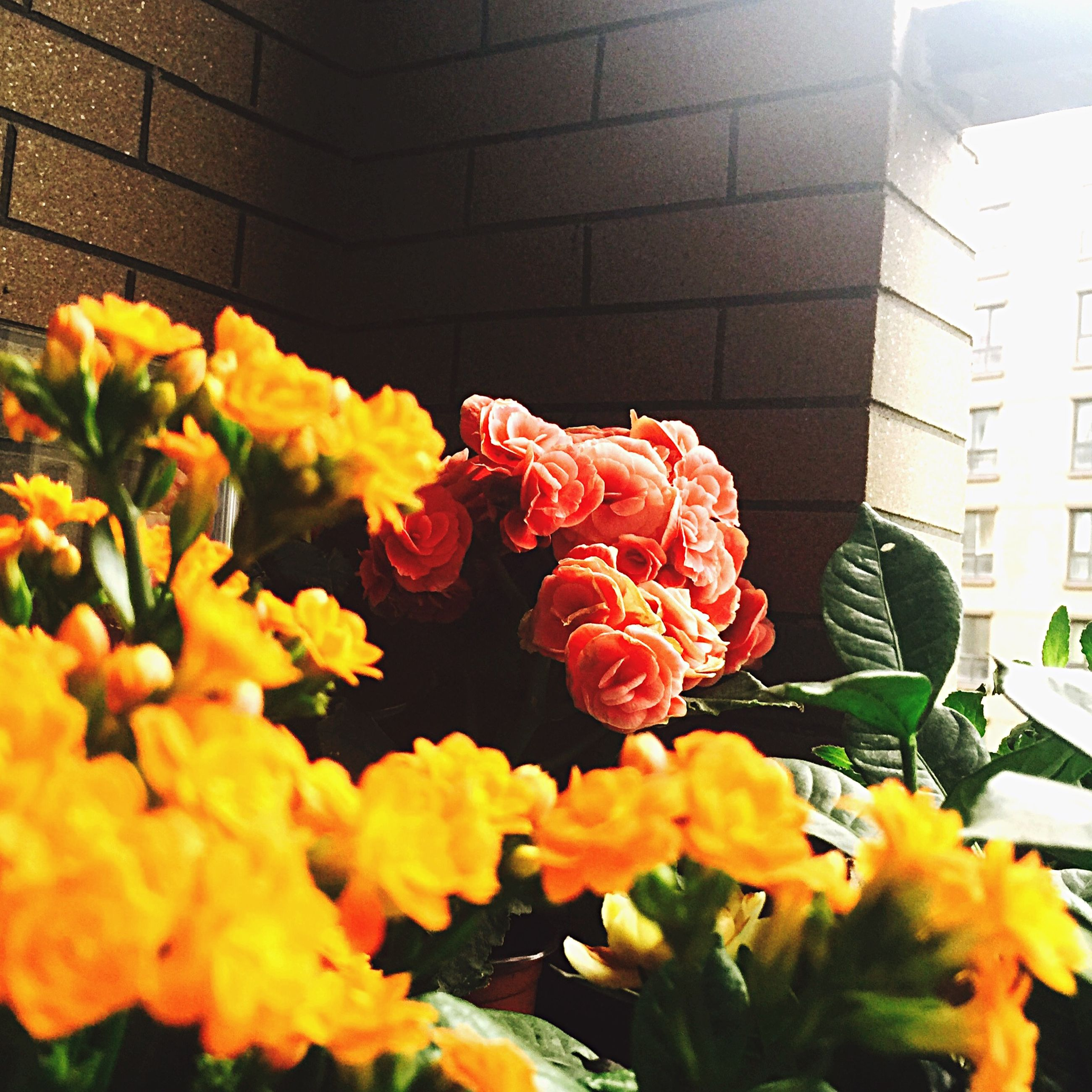 flower, yellow, petal, fragility, plant, freshness, leaf, built structure, growth, architecture, flower head, sunlight, blooming, nature, building exterior, close-up, beauty in nature, wall - building feature, rose - flower, no people