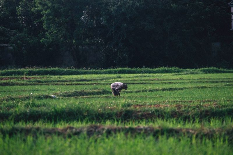 Farmer working on rice field