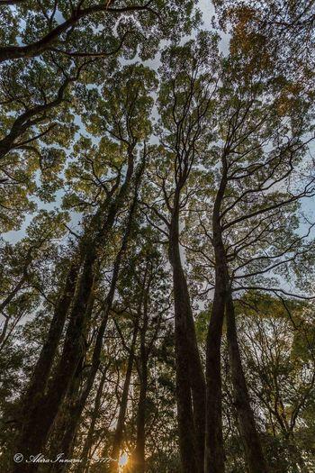高屋山上陵の椎木