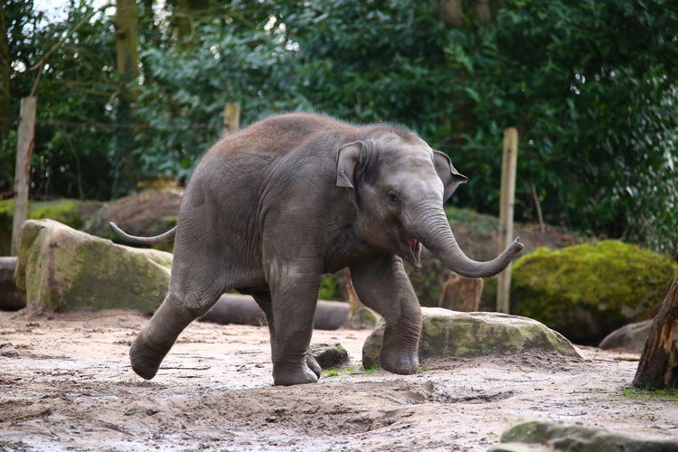 Close up of elephant calf