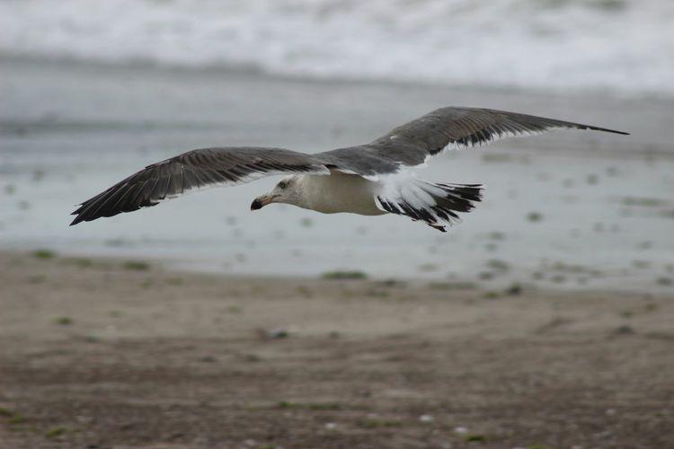 Seagull flying on beach at dusk