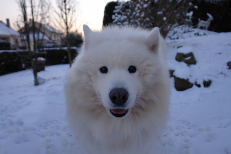 Animal Themes Close-up Cold Temperature Dog Domestic Animals Fitougraphie Laurent Vankilsdonk No People Outdoors Pets Portrait Samoyed Snow Weather White Color Winter