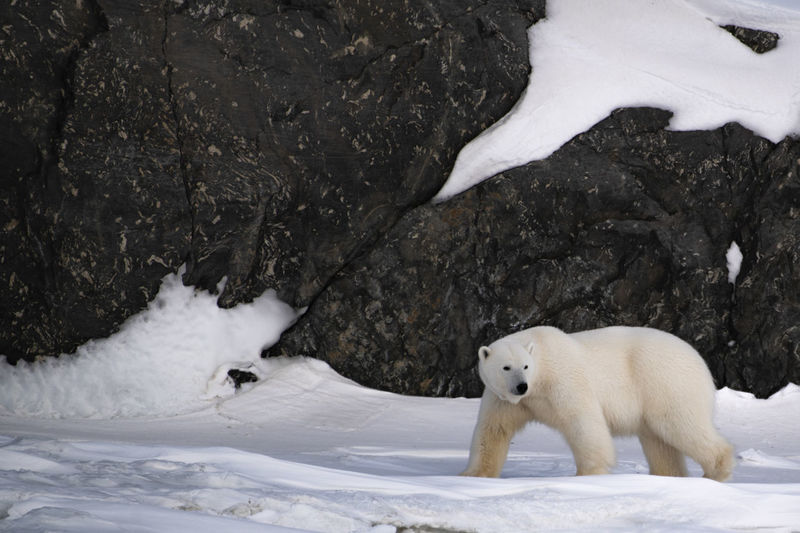 A polar bear female wandering around the glaciers of Billefjord Animal Themes Snow Cold Temperature Animal Winter Animals In The Wild Mammal Animal Wildlife One Animal Bear Polar Bear Ice White Color No People Wildlife Arctic Svalbard