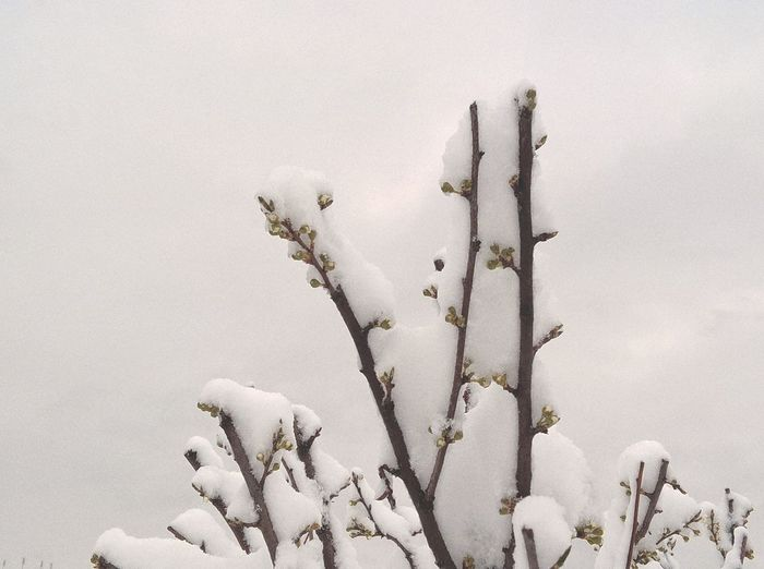 Snowy Days... Tree Beauty In Nature Blossom Bud Close-up Cold Temperature Fragility Freshness Growth Nature No People Outdoors Sky Snow Snow On Blossoms Snow On Buds Snow On Flowers Snow On Trees Snowy Snowy Trees White White Background White Sky Winter