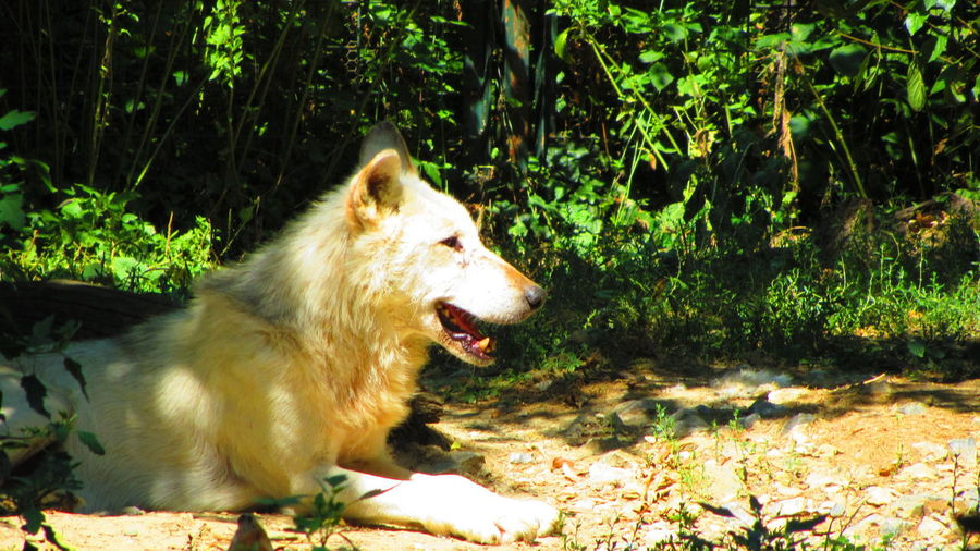 Wolfy Animals