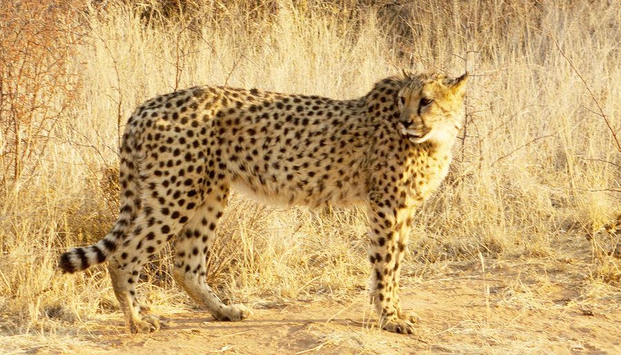 Namibia Africa Animal Themes Animal Wildlife Animals In The Wild Big Cat Cheetah Day Etosha National Park Feline Mammal No People One Animal Outdoors Safari Safari Animals Spotted