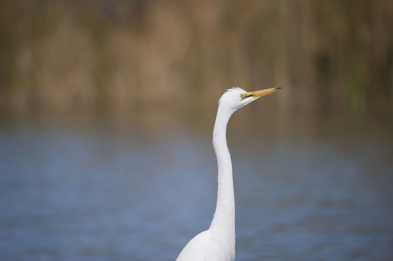 Great egret by lake