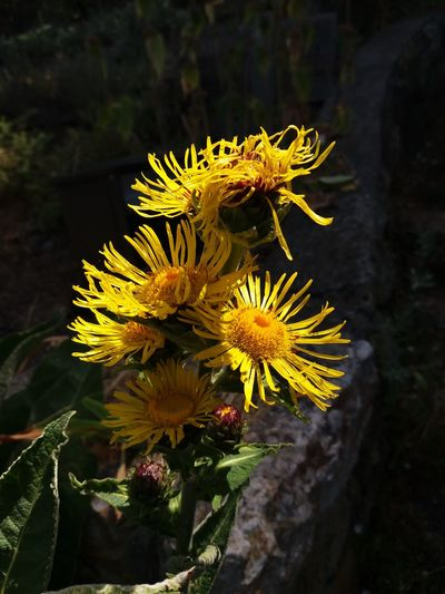 Beauty In Nature Botany Close-up Day Flower Flower Head Flowering Plant Focus On Foreground Fragility Freshness Growth Inflorescence Nature No People Outdoors Petal Plant Pollen Vulnerability  Yellow