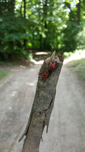 Fruška Gora Forrest Wood Branch 3 Bugs Three Bugs Red And Black Bugs Bugs Trail Forrest Trail