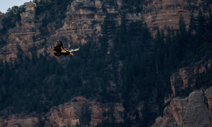A California Condor flies over the Grand Canyon. California Condors Endangered Species Grand Canyon National Park Animal Themes Animals In The Wild Beauty In Nature Bird Day Flying Mid-air Mountain Nature No People One Animal Outdoors Scenics Spread Wings