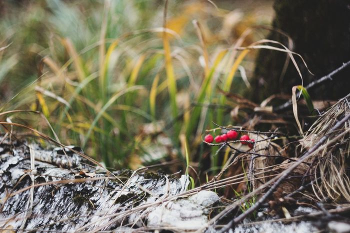 Berries Forest Drygrass Grass Autumn Flower Red Water Close-up Animal Themes Plant A New Beginning EyeEmNewHere Autumn Mood