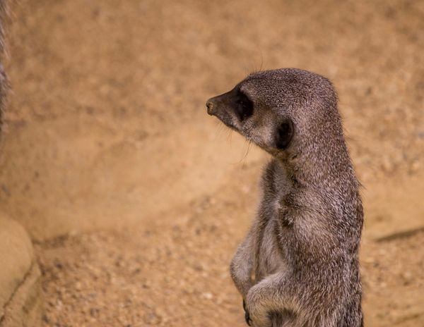 Meerkat No.01 Animal Themes Animal Wildlife Animal One Animal Animals In The Wild Meerkat Focus On Foreground No People Vertebrate Mammal Nature Sand Looking Outdoors Brown Climate