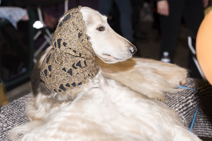 Afghan Hound Dogs Of EyeEm Hat Hound Dog Vilnius Afghan Animal Themes Beauty In Nature Close-up Day Dog Dogs Life Dogs Of The World Domestic Animals Hound Mammal No People Outdoors Pets Photo Photographer Photography Portrait