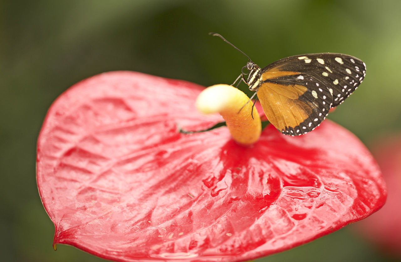 insect, fragility, nature, petal, one animal, red, beauty in nature, animals in the wild, freshness, butterfly - insect, close-up, animal themes, flower, focus on foreground, growth, plant, flower head, outdoors, day, no people, perching