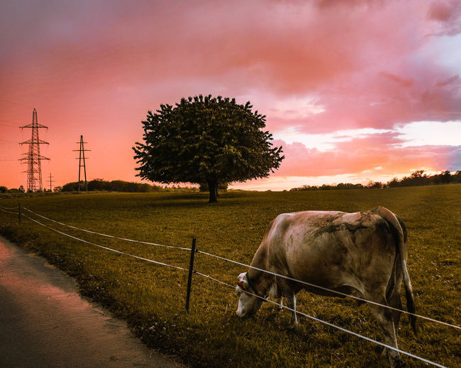 Horse grazing on field during sunset
