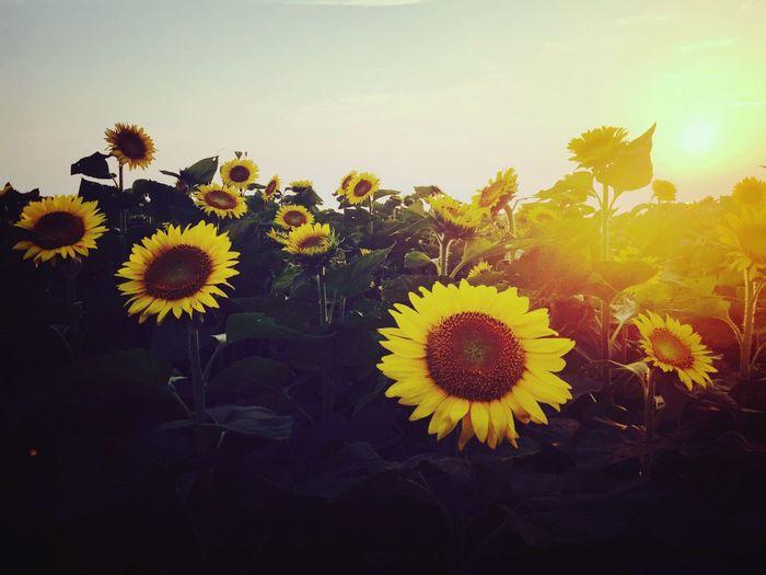 向日葵 Flower Yellow Sunflower Sunset ひまわり ひまわり畑 向日葵 大分県 豊後高田市
