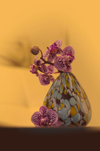 Purple spotted Aranda orchid, Aranda omyai, blooms in a colorful vase Aranda Omyai Aranda Orchid Blown Glass Vase Close-up Flower Flower Head Freshness No People Orchid Purple Flower Vase Yellow