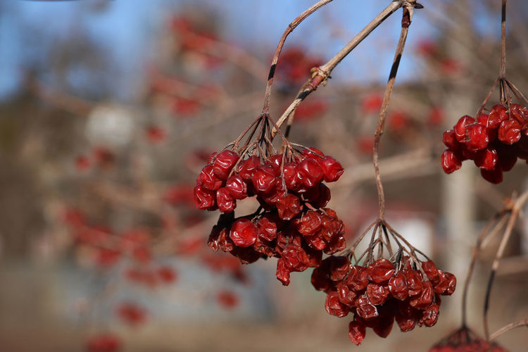Red Food And Drink Focus On Foreground Fruit Food Close-up Healthy Eating Plant No People Growth Nature Beauty In Nature Tree Day Viburnum Viburnum Lantana Twig Outdoors Ripe Wilted Plant Wintertime Bird Food Wrinkled