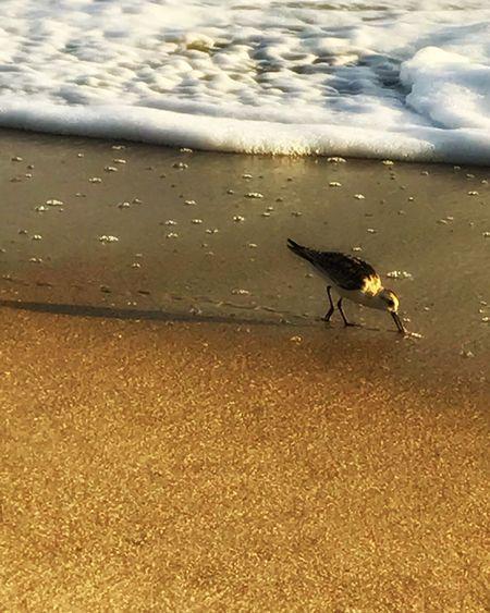 Sanderling at Sunrise Bird Tracks At The Beach Warm Glow Waters Edge Beach Foam