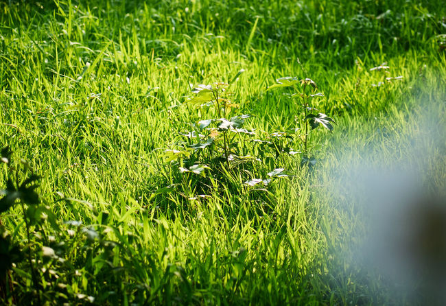 Bright Summertime Sunlight Beauty In Nature Bright Lit Day Field Flower Flowering Plant Focus On Background Freshness Grass Green Color Growth Land Landscape Nature No People Outdoors Plant Rural Scene Scenics - Nature Selective Focus Summer Sunlight Tranquility