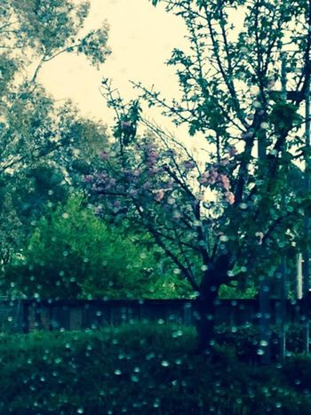 Rainy day Tree Growth Nature Blossom Outdoors Flower Beauty In Nature No People SummerWater Freshness Fragility Rainy Days Rain Drops Raindrops On My Window Branch Day