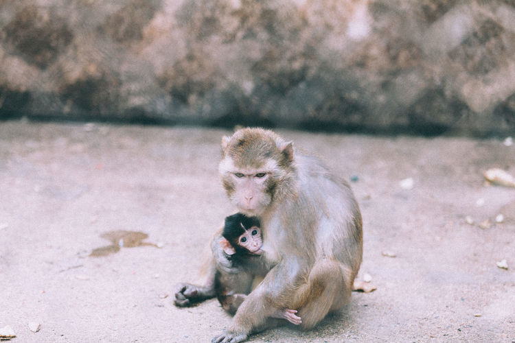 High angle view of monkey feeding infant on footpath
