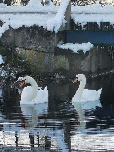 Swans swimming in lake during winter