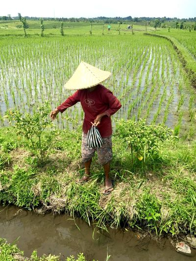 Agriculture Bali, Indonesia Cereal Plant Crop  Cultures Farm Farm Worker Farmer Field Green Color Growth Landscape Nature One Person Outdoors Rice - Cereal Plant Rice Paddy Rural Scene Women Working