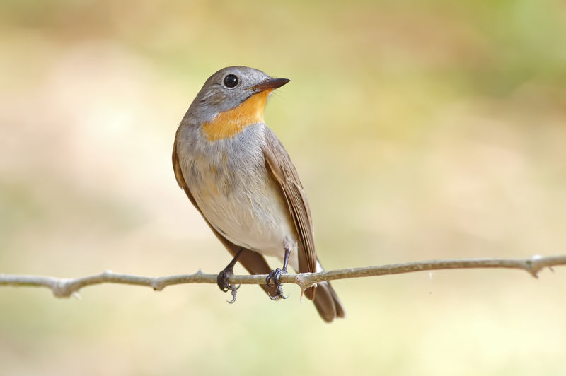 Animal Wildlife Bird Perching Animals In The Wild Animal Themes Vertebrate One Animal Animal Focus On Foreground Day No People Nature Close-up Outdoors Barbed Wire Robin Selective Focus Fence Full Length Songbird