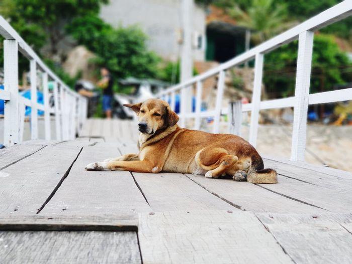 the island dog Bridge Dog Island Bìnhba Pets Dog Full Length Sitting Portrait Puppy Purebred Dog
