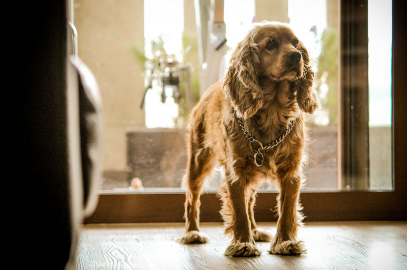 Dog looking away while standing on table at home