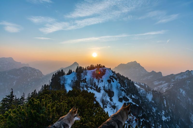 Scenic view with wolf of snowcapped mountains against sky during sunset