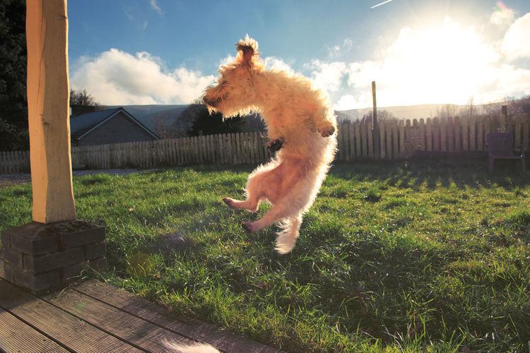 Animal Animal Themes Day Dog Domestic Animals Grass Happy Jump Jumping Mammal No People One Animal Outdoors Pets Sky Sunbeam