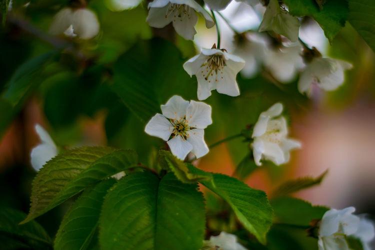 Blüten Obst