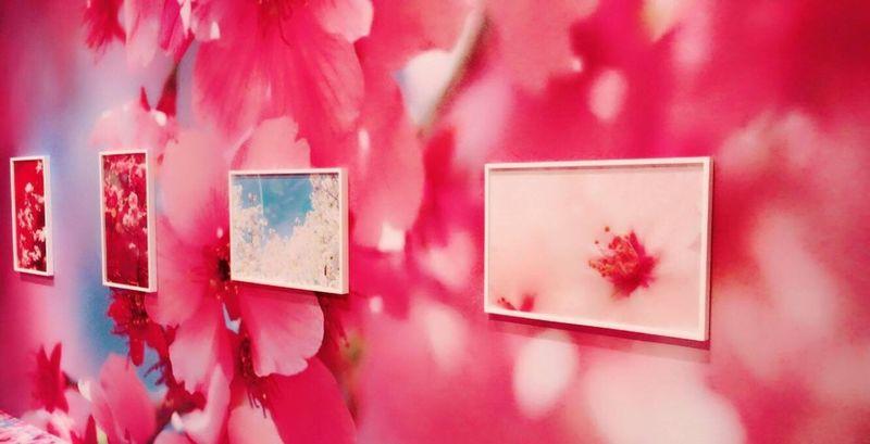 さくら咲く🌸🌸 Pink Color Red Close-up No People Day Art Japan Photo Cherry Blossoms Flower 桜 蜷川実花