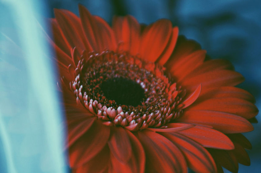 Colors Red The Week on EyeEm TheWeekOnEyeEM Beauty In Nature Blooming Close-up Day Flower Flower Head Fragility Freshness Growth Macro Nature No People Outdoors Petal Plant