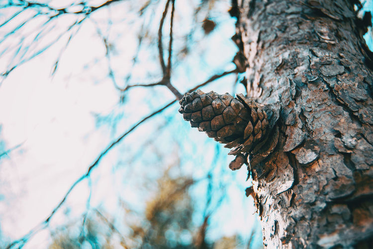 Low angle view of pine cones on tree