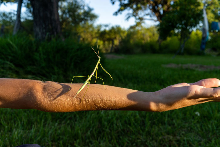 Mantidae is the largest family of the order mantodea, commonly known as praying mantises