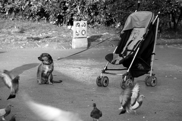 @LucianaLopezRec Animal Themes Baby Stroller Black & White Black And White Blackandwhite Blackandwhite Photography Day Dog Domestic Animals Low Section Mammal Outdoors Palomas Pets Pigeon Pigeons Shadow