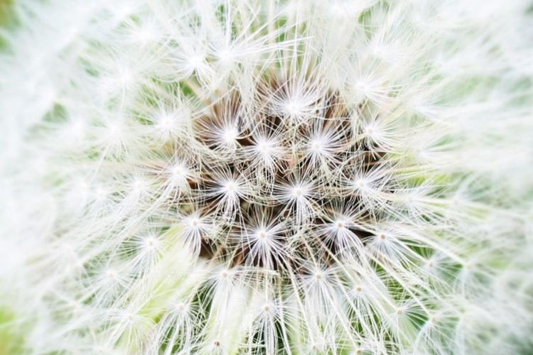 Natures amazing way to creation Beauty In Nature Canoneos1300D Canonphotography Close-up Dandelion Flower Flower Head Outdoors Patterns Perfection Plant Summer2018