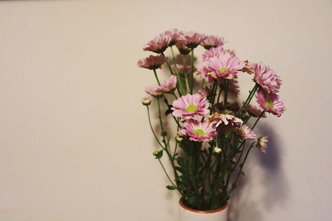 House Edition: Flowers Flower Fragility No People Freshness Pink Color Growth Studio Shot Flower Head Nature Petal Close-up Beauty In Nature White Background Plant Indoors  Day EyeEmNewHere Singapore EyeEm Selects Sommergefühle The Purist (no Edit, No Filter) VSCO Plant Freshness Springtime