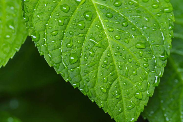 雨叶 叶子 雨 露水 After The Rain Drop Wet Water Green Color Close-up Plant Rain Nature Outdoors Rainy Season No People Plant Part Beauty In Nature Leaf