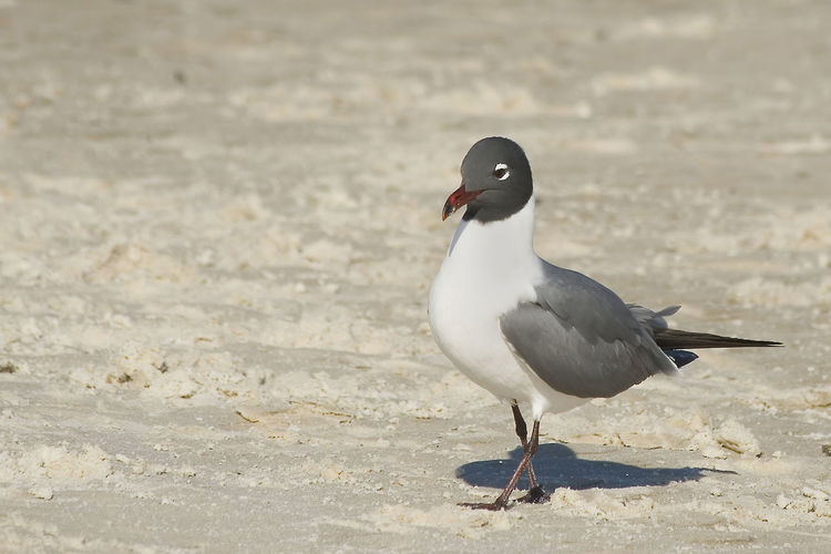 gull - shorebird Animal Themes Animal Wildlife Animals In The Wild Beach Bird Close-up Day Gull Nature No People One Animal Outdoors Perching Sand Seagull Shorebird