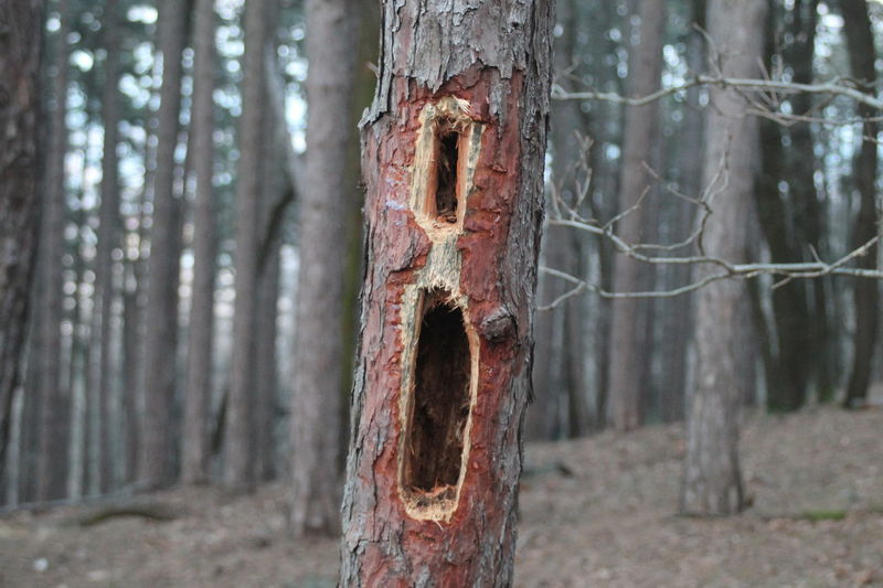 Central Damaged Den Flicker Hollow Natural Pattern Nature No People Outdoor Outdoor Photography Pinetree Scream Screaming Textured  Wood Wooden Woodpecker Woodpeckerholes