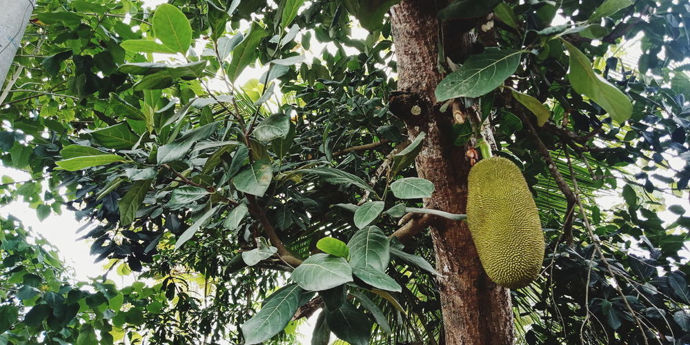 buah nangka