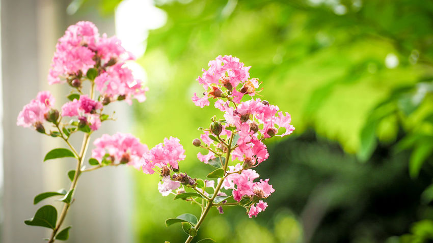 Sweet Tree Nature Thailand Flower Head Flower Pink Color Springtime Summer Blossom Defocused Close-up Plant Plant Life In Bloom Flowering Plant Blooming