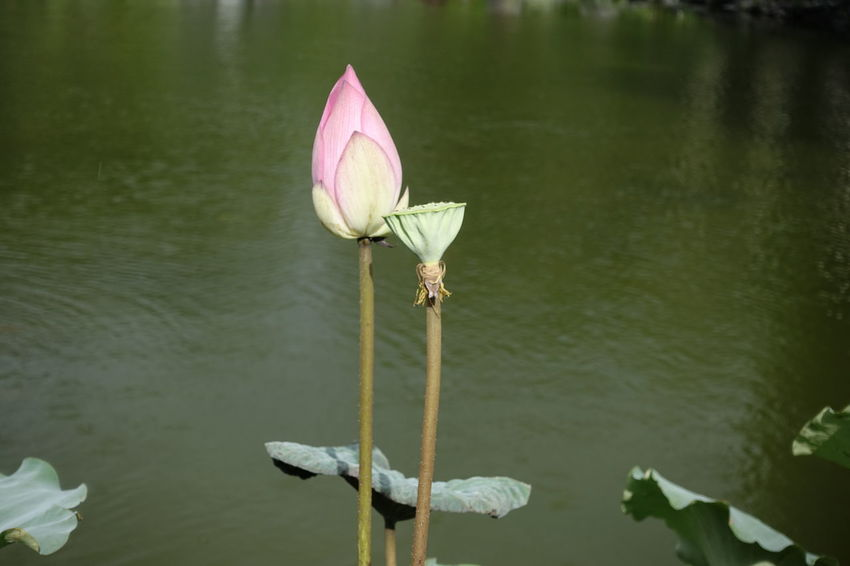 lotus Nature Contrast Pink Colour Flower Water Flower Head Lotus Water Lily Lake Pink Color Lotus Bud
