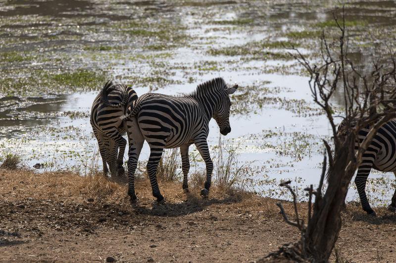 Zebras drinking water in a lake