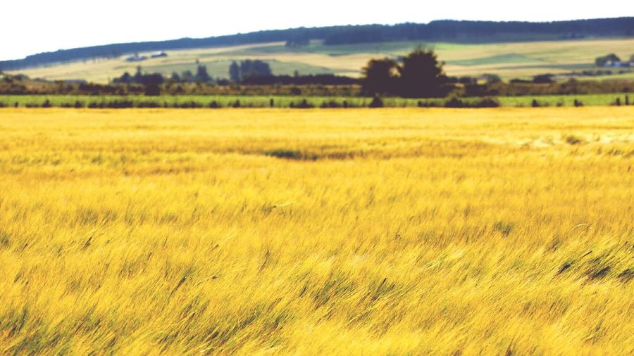 Rural Scene Agriculture Growth Field Farm Crop  Landscape Gold Colored Beauty In Nature Wheat Windy Field Windy Day Scotland Outdoors Travel Travel Destinations Scottish Scenery